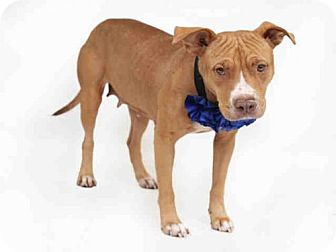 Pit Bull Terrier Dog for adoption in Orlando, Florida - JADA