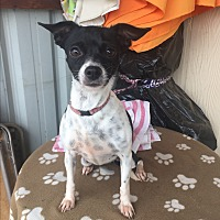 Chihuahua/Terrier (Unknown Type, Small) Mix Dog for adoption in Elk Grove, California - JUNIE