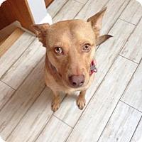 Australian Cattle Dog Mix Dog for adoption in Chicago, Illinois - Booker