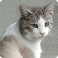 Adopt A Pet :: Marshmallow - Tiburon, CA