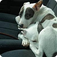 Adopt A Pet :: Priscilla - St Louis, MO