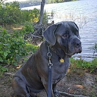 Adopt A Pet :: Althea - Silver Spring, MD