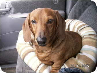 Dachshund Dog for adoption in Graham, Washington - Tucker