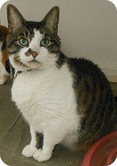 Domestic Shorthair Cat for adoption in Reston, Virginia - Zeus