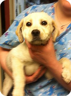 Labrador Retriever Puppy for adoption in Hazard, Kentucky - Tanner