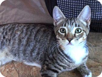 Domestic Shorthair Kitten for adoption in Escondido, California - Chloe