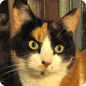Calico Cat for adoption in St. Johnsville, New York - Angel