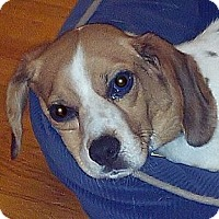 Adopt A Pet :: Cutie - Novi, MI