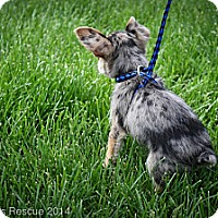 Adopt A Pet :: Blue - Broomfield, CO