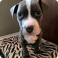 Adopt A Pet :: Ruckus - Atlanta, GA