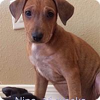 Adopt A Pet :: Nips - West Hartford, CT