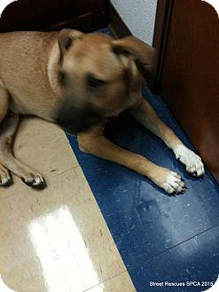 Black Mouth Cur/Shar Pei Mix Dog for adoption in SAN ANTONIO, Texas - George Loves Human