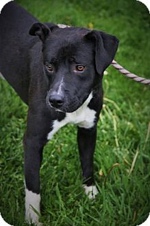 Pit Bull Terrier Mix Dog for adoption in Beckley, West Virginia - Tyson