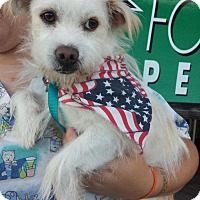 Westie, West Highland White Terrier/Terrier (Unknown Type, Small) Mix Dog for adoption in Van Nuys, California - *URGENT* Einstein