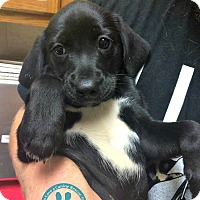 Adopt A Pet :: Daphne - Kimberton, PA