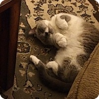 Ragdoll Cat for adoption in Chantilly, Virginia - Snow