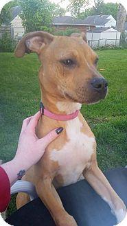 Pit Bull Terrier Mix Dog for adoption in Dayton, Ohio - Halo