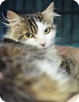 Maine Coon Cat for adoption in Herndon, Virginia - Chloe