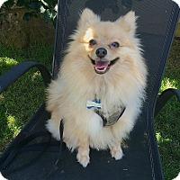 Adopt A Pet :: BODHI - Beverly Hills, CA