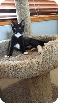 Domestic Mediumhair Kitten for adoption in Topeka, Kansas - Chubbies