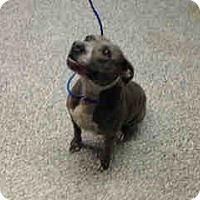 Pit Bull Terrier Mix Dog for adoption in San Bernardino, California - URGENT on 9/13 SAN BERNARDINO