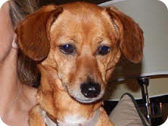 Dachshund Mix Dog for adoption in Minnetonka, Minnesota - Lucy