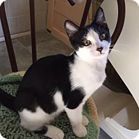 Domestic Shorthair Kitten for adoption in Spencer, New York - Sansa
