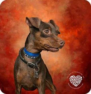 Miniature Pinscher Dog for adoption in Inglewood, California - Moose