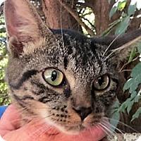 Adopt A Pet :: Tigger - Germantown, MD