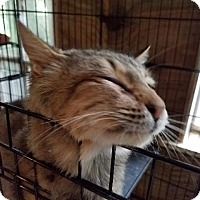 Maine Coon Cat for adoption in Spring, Texas - Della