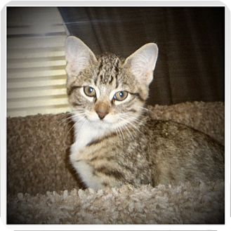 Domestic Shorthair Kitten for adoption in Medford, Wisconsin - JINX