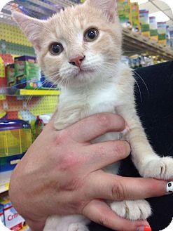 Domestic Shorthair Kitten for adoption in Garner, North Carolina - Lightening