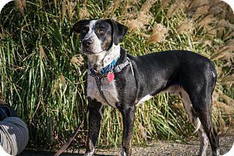 Hound (Unknown Type)/Cattle Dog Mix Dog for adoption in Bardonia, New York - Tim