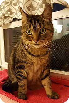 Domestic Shorthair Cat for adoption in Salisbury, Massachusetts - Amazon
