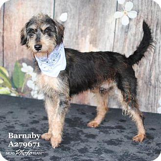 Standard Schnauzer Mix Dog for adoption in Conroe, Texas - BARNABY