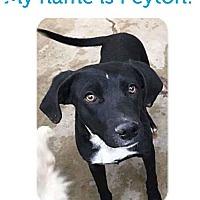 Adopt A Pet :: Peyton *In Transit - Hanover, PA