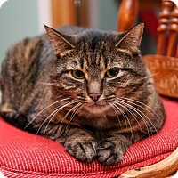 Domestic Shorthair Cat for adoption in Brimfield, Massachusetts - Perry
