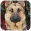 Photo 1 - German Shepherd Dog Dog for adoption in Los Angeles, California - Monty von Montoya