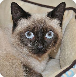 Siamese Cat for adoption in Horsham, Pennsylvania - Misa