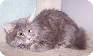 Domestic Mediumhair Cat for adoption in Colorado Springs, Colorado - K-Angie2-Hope