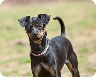 Miniature Pinscher Mix Dog for adoption in Rockaway, New Jersey - Belle