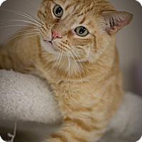 American Shorthair Cat for adoption in Belton, Missouri - Bruce