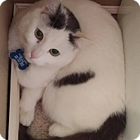 Domestic Shorthair Kitten for adoption in Los Angeles, California - Joaquin