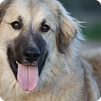 Adopt A Pet :: Bear - Austin, TX