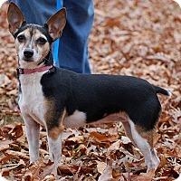 Adopt A Pet :: Bonnie Angel - Carmel, IN