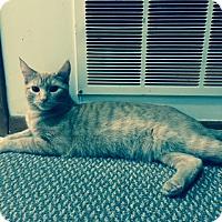 Adopt A Pet :: Munchkin - Berkeley Hts, NJ