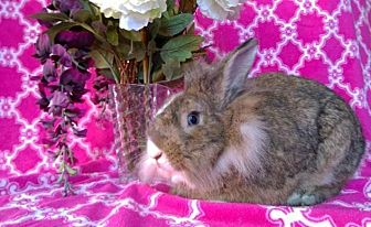 Lionhead Mix for adoption in Erie, Pennsylvania - Harriet