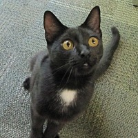Domestic Shorthair Cat for adoption in Atlanta, Georgia - Stanley