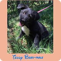 Adopt A Pet :: Teddy Bear (pom-dc) - Hagerstown, MD