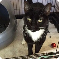 Domestic Shorthair Cat for adoption in Fenton, Missouri - Ted